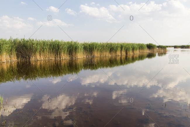 Austria- Burgenland- reed at lake Neusiedl