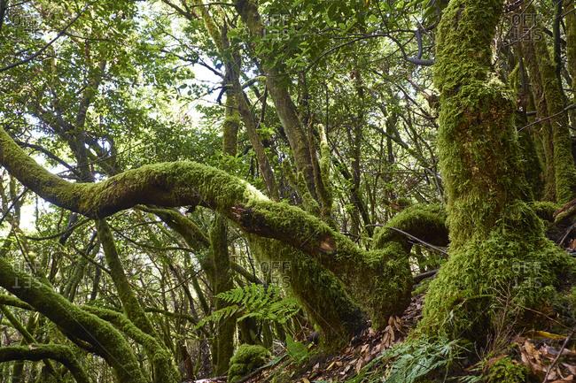 Spain- Canary Islands- La Palma- Cumbre Vieja- Laurel forest