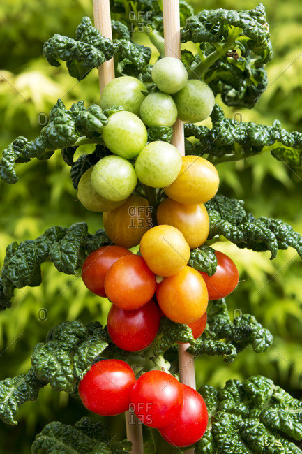 Cherry tomato plant with ripe and unripe fruits