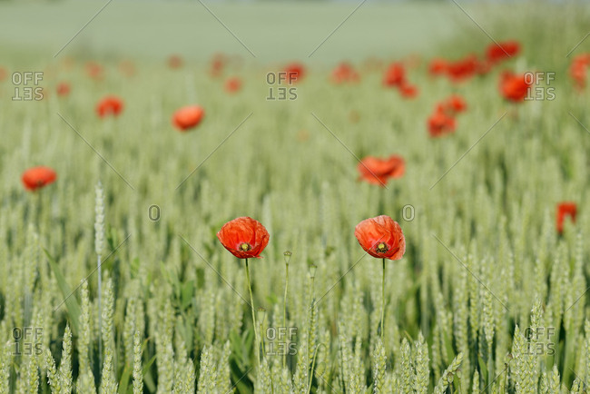 Germany- Bavaria- Franconia- Red poppies in wheat field