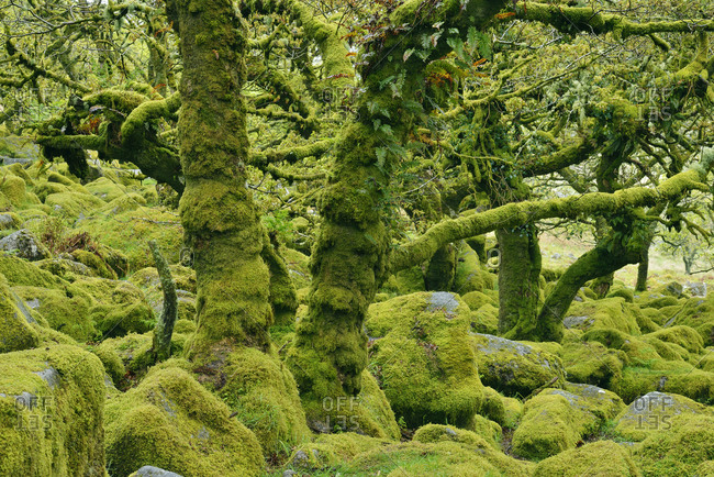 United Kingdom- England- Dartmoor National Park- Trees and granite boulders are overgrown with moss