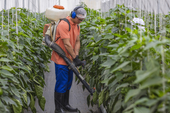 Young man working in greenhouse spraying fertilizer on plants