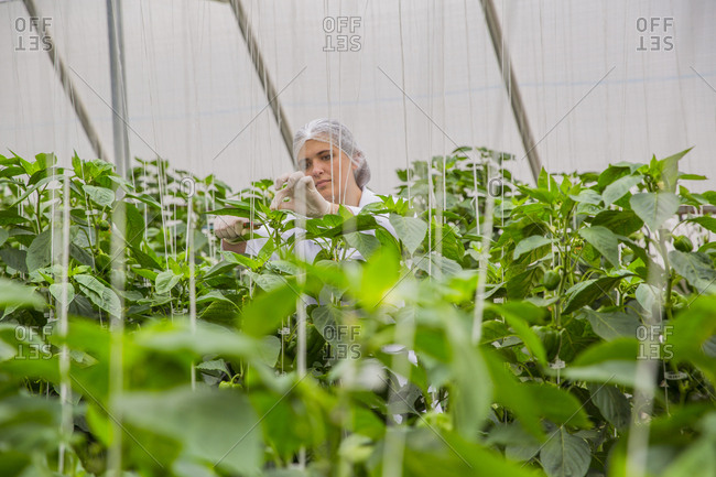 Young woman working in greenhouse- pruning vegetable plants