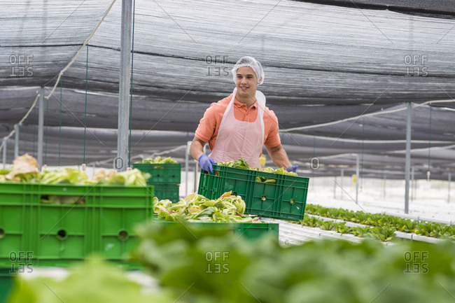 Worker in greenhouse carrying crate with freshly harvested vegetables