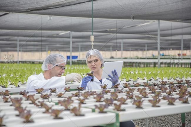 Workers in greenhouse inspecting plants