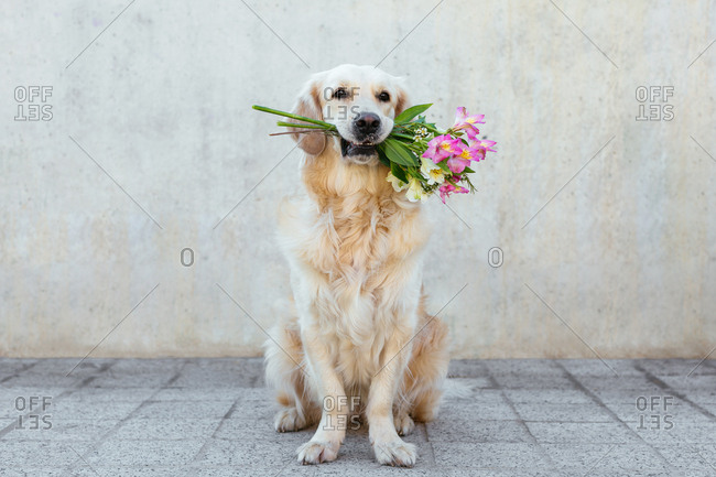 Golden Retriever dog carrying a bouquet of flowers.