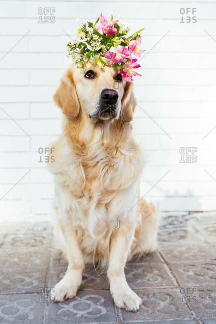 Golden Retriever dog holding a bouquet of flowers on head.