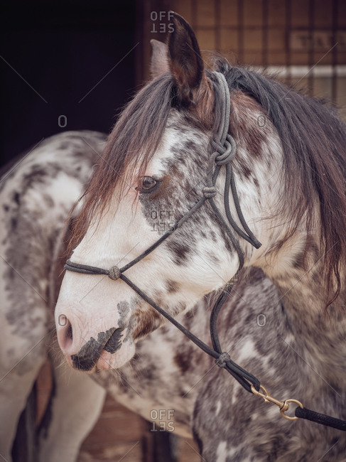 Beautiful horse with dapple gray fur standing near stable on ranch
