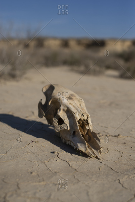 Cow Skull On Dried Earth In The Desert
