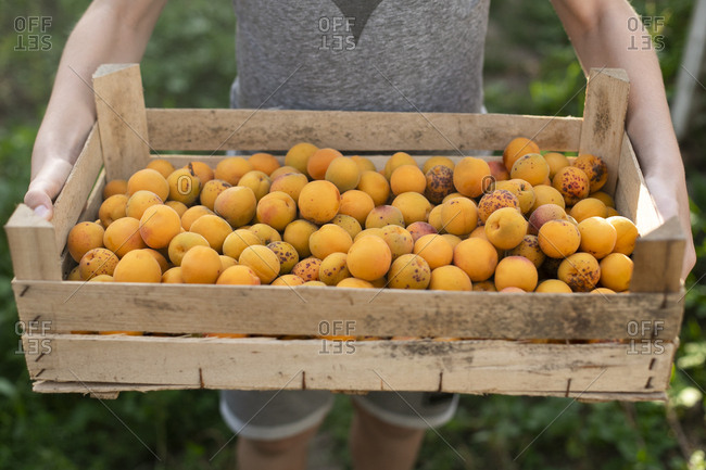 Boy holding crate of apricots