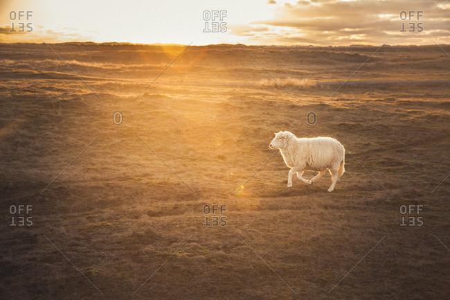 Germany- Sylt- Schleswig Holstein Wadden Sea National Park- dune landscape- Ellenbogen- running sheep- sunset