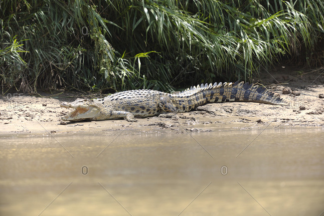 Borneo- Sabah- Saltwater crocodile- Crocodylus porosus