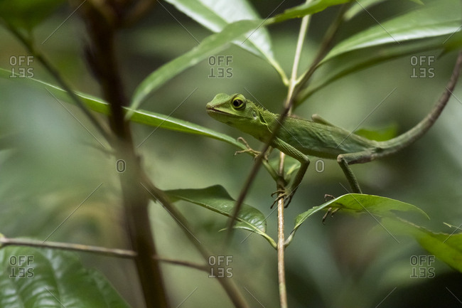 Malaysia- Borneo- Sabah- Natural Reserve- Green crested lizard- Bronchocela cristatella