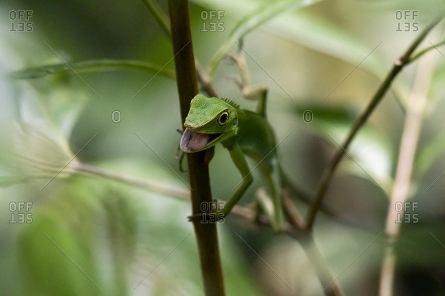 Malaysia- Borneo- Sabah- Natural Reserve- Green crested lizard- Bronchocela cristatella