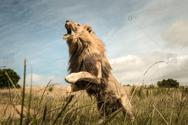 Lion jumping in the air roaring