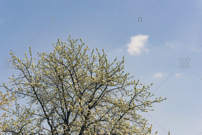 Tree blossoming in spring