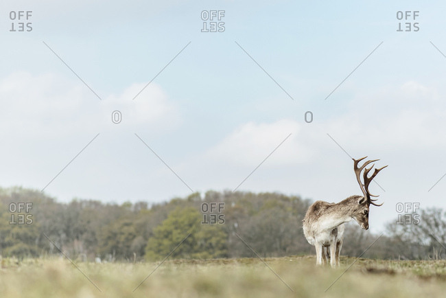 Male fallow deer grazing in a field
