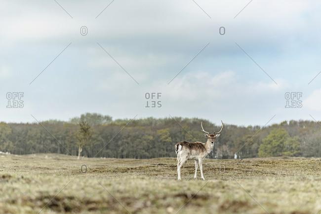 Male fallow deer in a field
