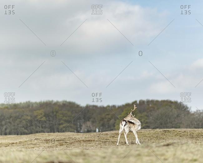 Male fallow deer alone in a field