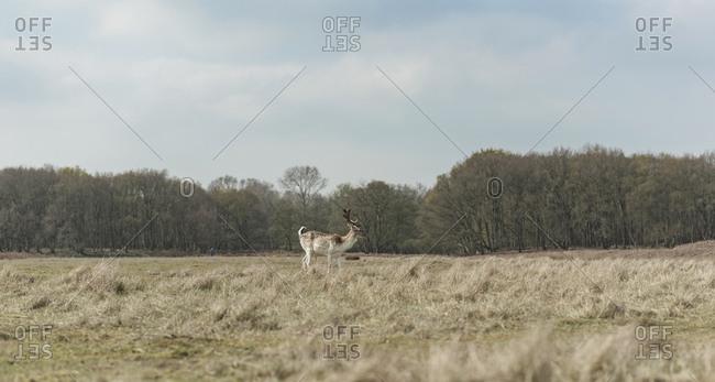 Fallow deer in a field