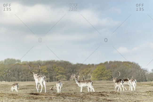 Group of male fallow deer in a field