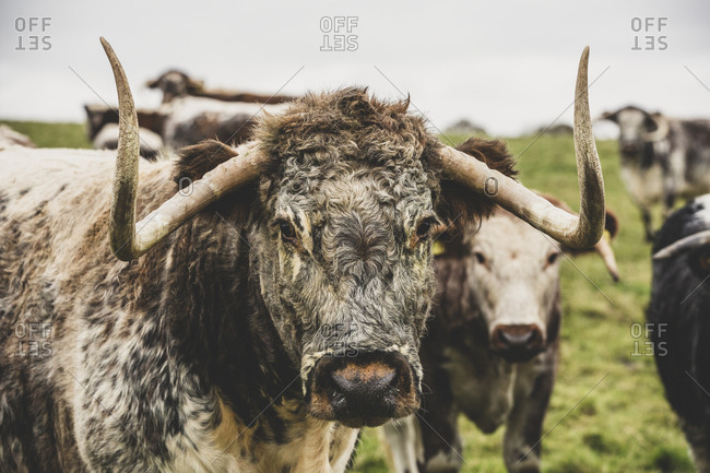 English Longhorn cow standing on a pasture, looking at camera.