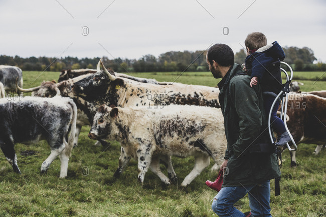 Man carrying young boy on his back walking on a pasture with English Longhorn cows.