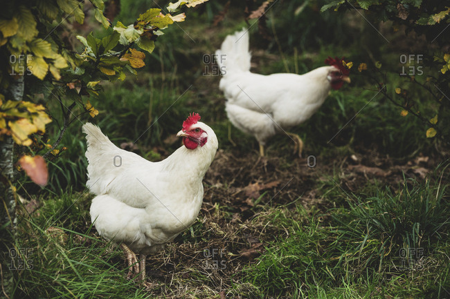 High angle close up of two white chickens standing on grass.