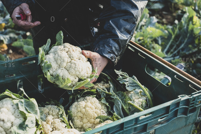 High angle close up of person holding freshly harvested cauliflower.