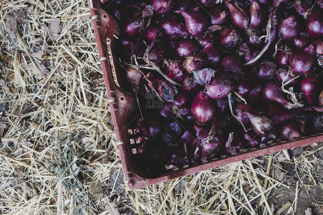 High angle close up of freshly harvested red onions in plastic crate.
