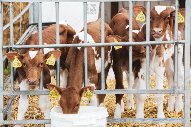 Group of Guernsey calves in a metal pen on a farm.