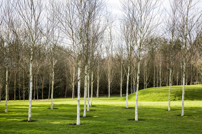 A garden in winter, young white birch  trees in grass with paths cut through the grass.