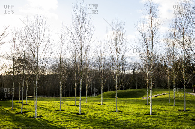 A garden in winter, white birch trees with pale trunks in grass