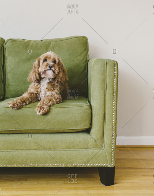 A cockapoo mixed breed dog, a cocker spaniel poodle cross, a family pet with brown curly coat sitting on a chair
