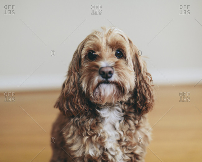 A cockapoo mixed breed dog, a cocker spaniel poodle cross, a family pet with brown curly coat