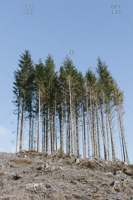 Open landscape, a hillside of logged spruce, hemlock and fir trees