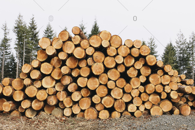 Stacked logs, freshly logged spruce, hemlock and fir trees