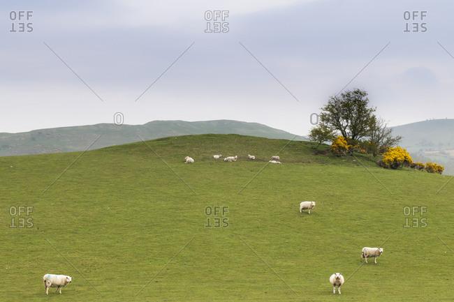 May 11, 2017: Wales, UK, Snowdonia National Park, Sheep on green pasture landscape