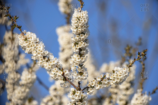 Flower blossoms on a tree in early spring