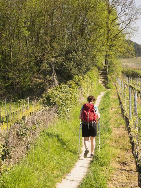 Woman hiking on narrow footpath through vineyard terraces, Baden-Wurttemberg, Germany