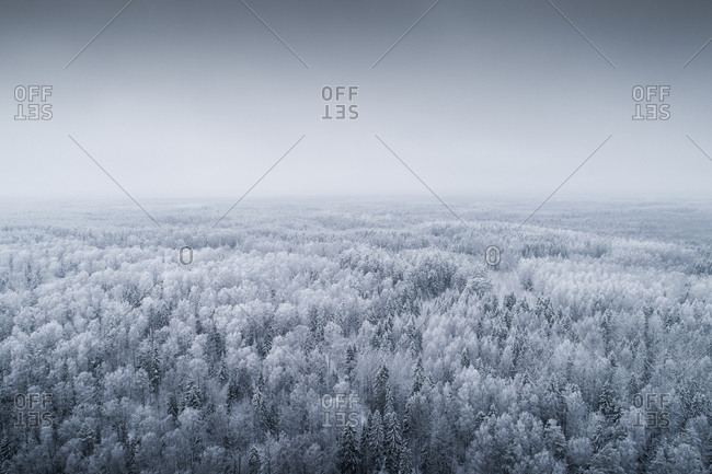 Snowy and misty forest landscape in Estonian winter.