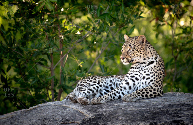 A leopard, Panthera pardus, lies down on a boulder, head upright, looking out of frame, green background