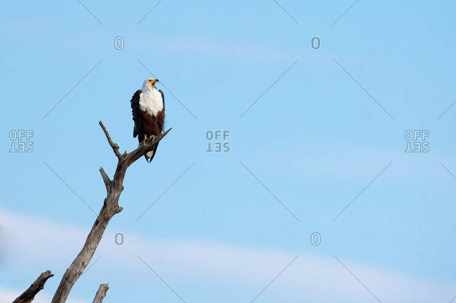 An African fish eagle, Haliaeetus vocifer, perches on a dead branch, looking out of frame