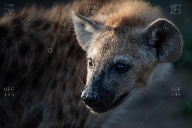A spotted hyena cub's face, Crocuta crocuta