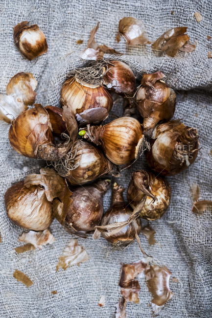 High angle close up of brown onion bulbs on a grey background.