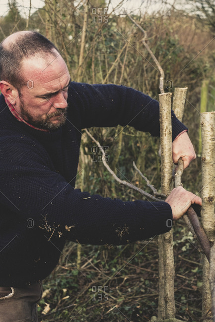 Close up of bearded man building a traditional hedge.