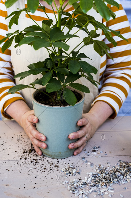 Close up of person holding blue terracotta pot with plant.