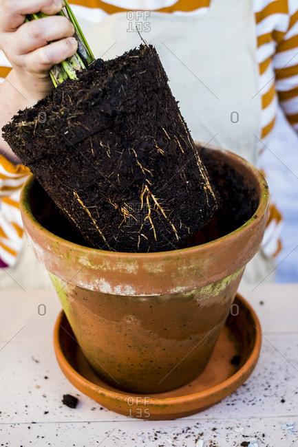 High angle close up of person removing plant with soil attached to roots from terracotta pot.