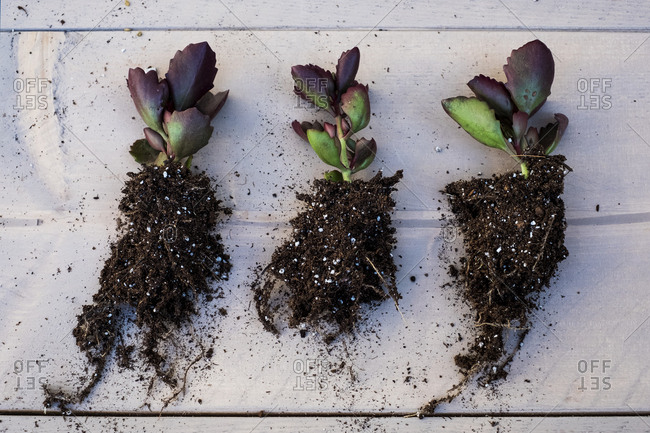 High angle close of three small succulents with soil attached to roots.