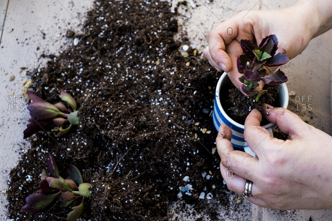 High angle close up of person planting succulent in potting soil in a coffee mug, succulent plants with soil attached to root.